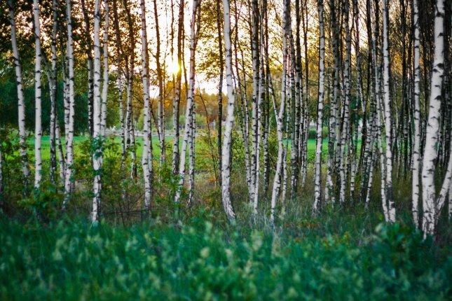 Bērzu mežs